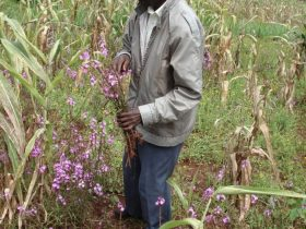 A farmer holding the witchweed